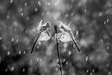 Летен дъжд ; comments:21