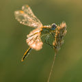Водно Конче(Dragonfly) ; comments:7