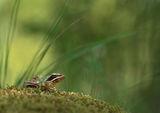 Горска дългокрака жаба (Rana dalmatina) ; comments:44