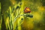 Пеперудата ; comments:22
