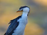 Little pied cormorant (Microcarbo melanoleucos) ; comments:1