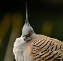 Crested pigeon (Ocyphaps lophotes) ; comments:4
