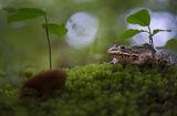Голяма водна жаба (Rana ridibunda Pallas) ; comments:49