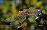 Dragonfly (Sympetrum flaveolum) ; comments:26