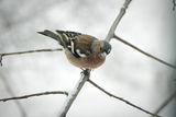 Chaffinch ; comments:2