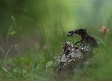 Бръмбар рогач (Lucanus cervus) ; comments:73