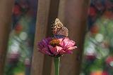 Слънчево с пеперуда ; Comments:13