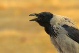 Сива врана ; Коментари:6