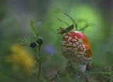 Червена мухоморка (Amanita muscaria) ; comments:81
