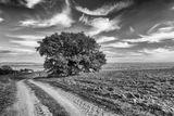 Единично дърво край криволичещият селски път. ; comments:9