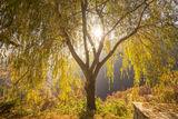 Есенната върба ; Comments:3