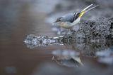 Планинска стърчиопашка (Motacilla cinerea) ; comments:17