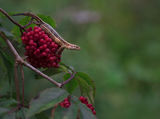 Живороден гущер (Lacerta vivipara) ; Comments:27