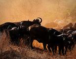 Кафърски бивол ; comments:28