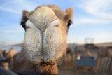 Camel ; comments:2