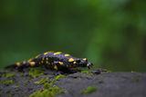 Дъждовник (Salamandra salamandra) ; Comments:37