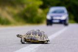 Hermann's tortoise ; comments:10