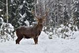 пятнистый олень зимой ; comments:11