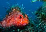 Риба скорпион ; comments:6