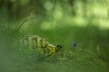 Шипобедрена костенурка (Testudo graeca) ; Comments:32