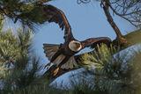 Bald Eagle 05 ; Comments:13