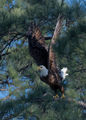 Bald Eagle 03 ; comments:12