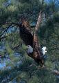 Bald Eagle 03 ; Comments:12