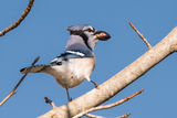Blue Jay ; No comments