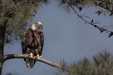 Bald Eagle 02 ; No comments