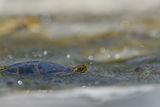 Европейска блатна костенурка (Emys orbicularis) ; Comments:33
