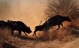 Кафърски биволи ; comments:63