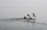Пеликаните от Керкини ; Comments:5