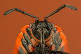 Великденче, Божа кравичка (Pyrrhocoris apterus) ; Comments:7