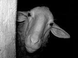 Портрет на Овца . ; comments:9