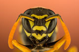Хартиена оса (Polistes dominula ; Comments:6