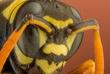 Хартиена оса (Polistes dominula) 4.5x ; Comments:4