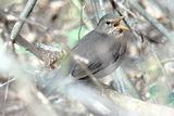 Turdus merula sing ; comments:10