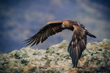 Скален орел ; Comments:51