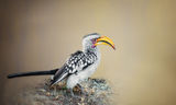 Hornbill - Птица носорог ; comments:19