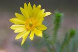 Пролетен горицвет /Adonis vernalis/ ; comments:5