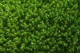 Зелен горски мъх ; comments:4
