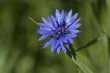 Синя метличина / Centaurea cyanus ; comments:1