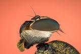 Черешова муха (Rhagoletis cerasi) ; Comments:8