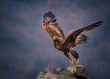 Скален орел ; comments:61