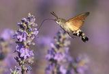 гълъбова опашка ; comments:24