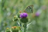 Пеперуда ; comments:4
