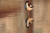 Саблеклюн Поморийско езеро ; comments:2