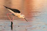 Кокилобегач на Поморийско езеро ; comments:3