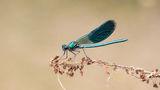 Мъжко синьо ромолниче (Calopteryx virgo) ; comments:9
