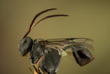 Ensign Wasp - Hyptia ; Comments:3
